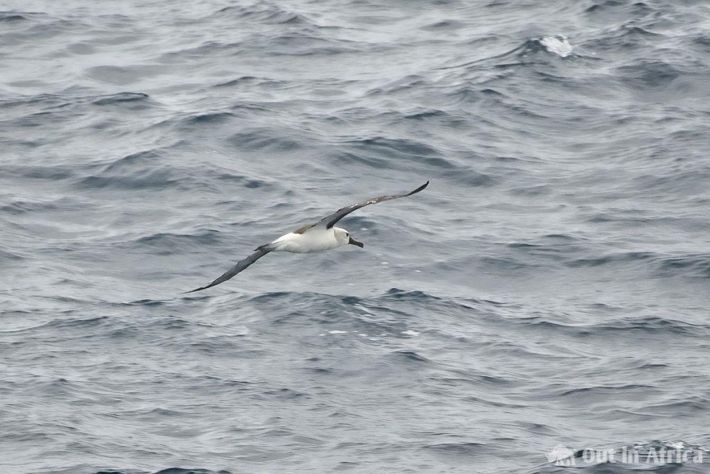 Atlantic Yellow Nosed Albatross