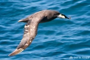 Antarctic Giant-Petrel